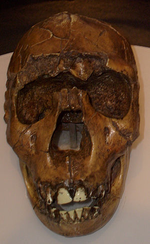 Homo ergaster - Homo ergaster skull reconstruction of the Turkana Boy/Nariokotome Boy from Lake Turkana, Kenya. Museum of Man, San Diego.