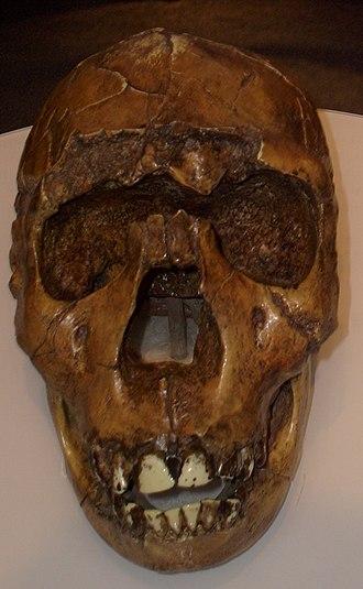 "Homo ergaster - Reconstruction of the KNM-WT 15000 (""Turkana Boy"") cranium. Museum of Man, San Diego."