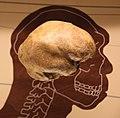Homo heidelbergensis endocast - Smithsonian Museum of Natural History - 2012-05-17.jpg