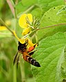 Honey Bee gathering pollen image by Dr. Raju Kasambe DSCN4801 (16).jpg