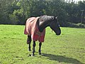 Horse (4159728834).jpg