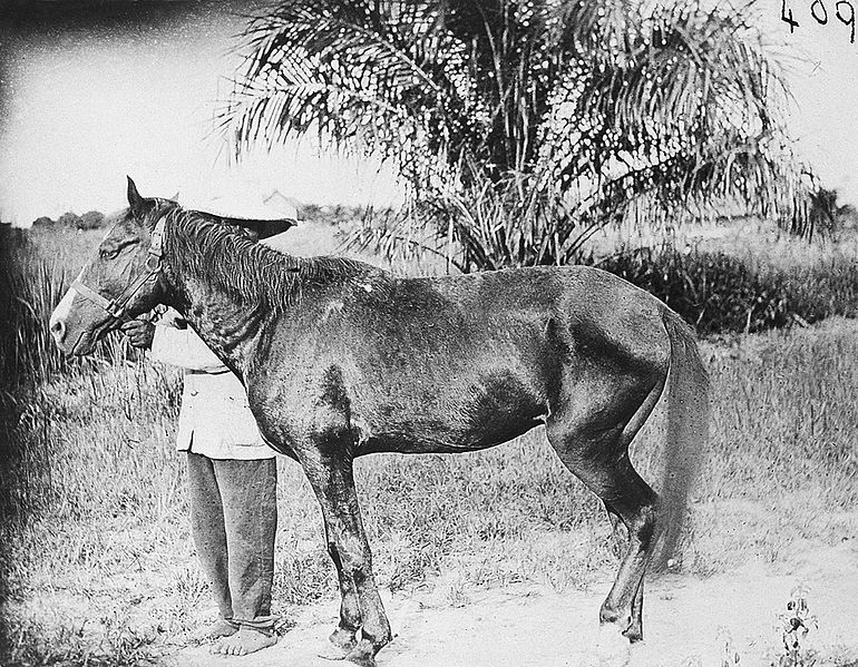 File:Horse infected with trypanosomes Wellcome L0011040.jpg