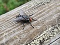 Housefly (Musca domestica).jpg