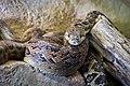 Hroznýšovec kubánský zoo praha 2.jpg