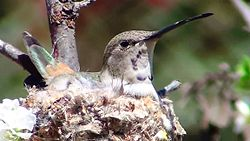 Hummingbird Incubating8.jpg
