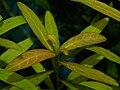 Hygrophila polysperma Rosa Blattadern.jpg