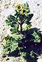 Hyoscyamus albus 1.jpg