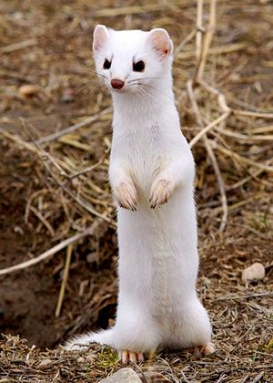 Long-tailed weasel - In winter coat