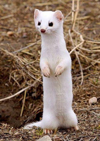 Long-tailed weasel - In winter coat