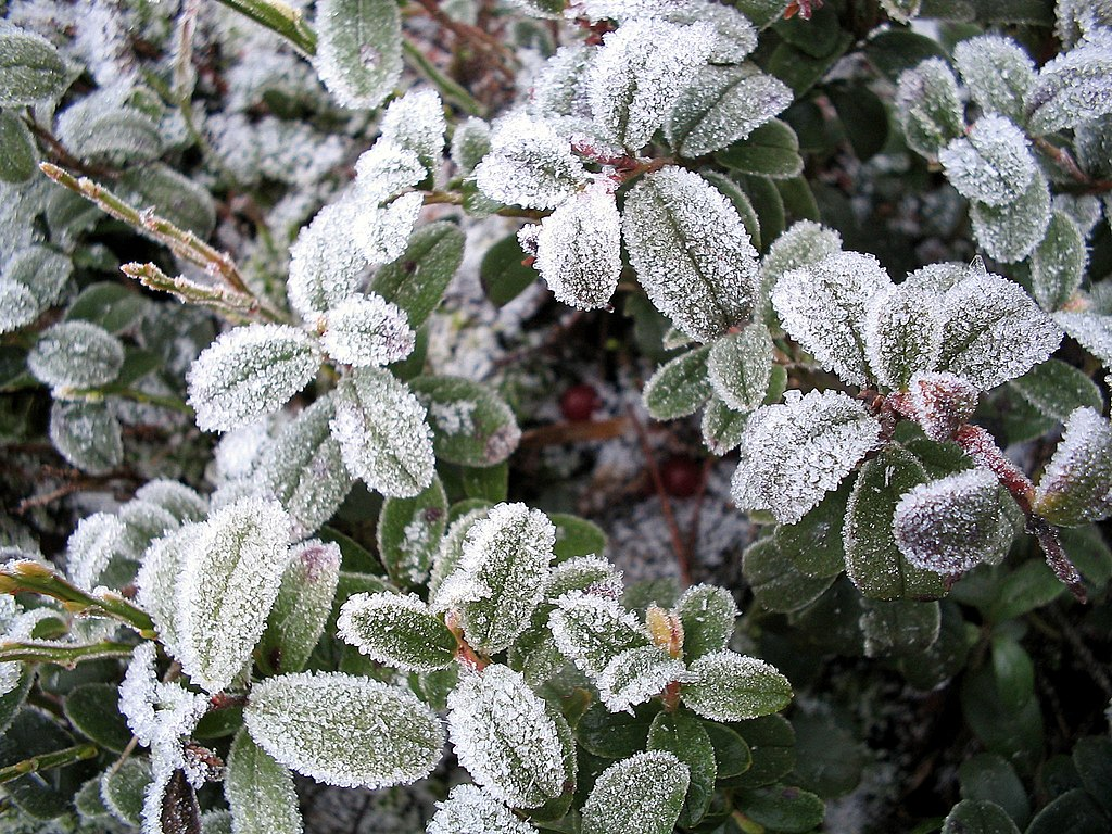 http://upload.wikimedia.org/wikipedia/commons/thumb/4/41/Icy_LingonBerry.jpg/1024px-Icy_LingonBerry.jpg