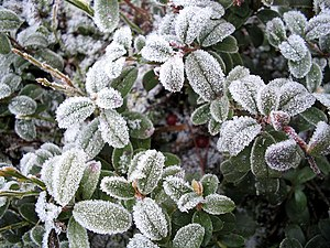 Frost on lingonberry leaves.