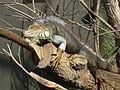 Iguana iguana, Zoo de Vincennes 02.JPG