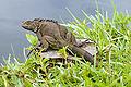 Iguana iguana dark trunk.jpg