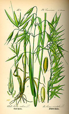 Illustration Avena sativa0.jpg