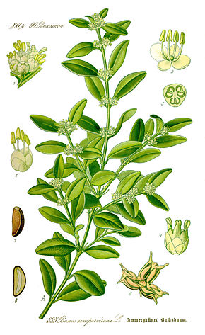 http://upload.wikimedia.org/wikipedia/commons/thumb/4/41/Illustration_Buxus_sempervirens1_cleaned.jpg/290px-Illustration_Buxus_sempervirens1_cleaned.jpg