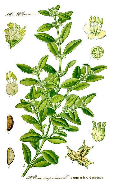 planche botanique du buxus
