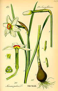 Illustration Narcissus poeticus0