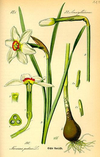 Narcissus poeticus - Botanical drawing from Otto Wilhelm Thomé's Flora von Deutschland, Österreich und der Schweiz (1885)