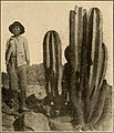 """Image from page 102 of """"The Cactaceae - descriptions and illustrations of plants of the cactus family"""" (1919).jpg"""