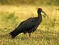 Indian Black Ibis Pseudibis papillosa by Dr. Raju Kasambe DSCN2445 (23).jpg