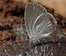 Indian Cupid (Everes lacturnus) in Kinnarsani WS, AP W IMG 5999.jpg