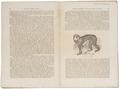 Inuus ecaudatus - 1700-1880 - Print - Iconographia Zoologica - Special Collections University of Amsterdam - UBA01 IZ20000036.tif