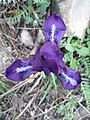 Iris pumila sl12.jpg