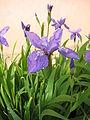 Iris tectorum 02.JPG