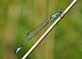 Ischnura elegans qtl1.jpg