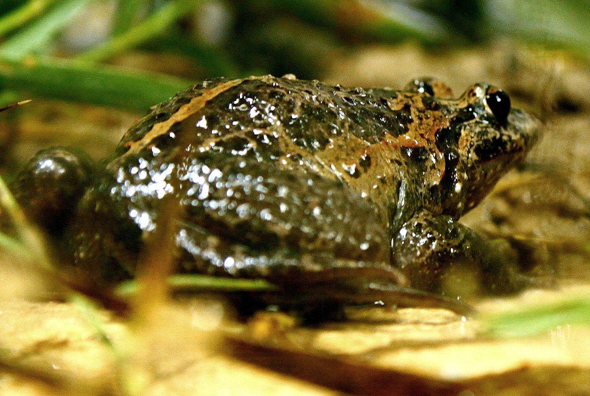 Hula painted frog - Wikipedia