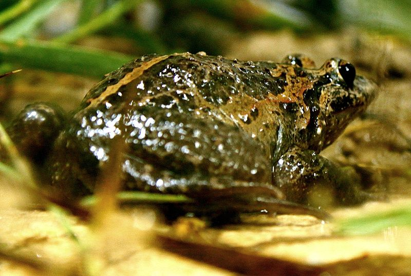 File:Israel painted frog.JPG