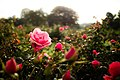 It's fall even for the prettiest rose... (10383091124).jpg