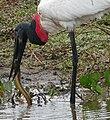 Jabiru (Jabiru mycteria) catching a Marbled Swamp Eel (Synbranchus marmoratus) - Flickr - berniedup.jpg