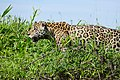 Jaguar (Panthera onca) male on the river bank ... (29139287336).jpg