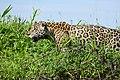 Jaguar (Panthera onca) male on the river bank ... (29139287336).jpg