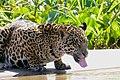 Jaguar (Panthera onca) young male drinking ... (48697917708).jpg