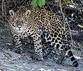 Jaguar in Pantanal Brazil 1 (cropped).jpg