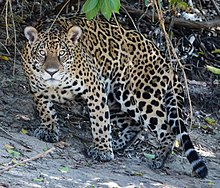 Jaguar in Pantanal Brazil 1 (cropped).jpg