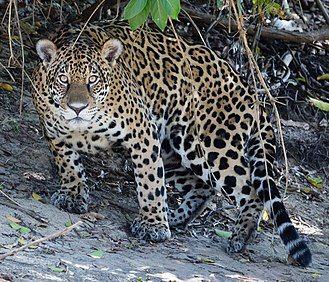 Amazon basin - South American jaguar
