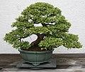 Japanese Cypress (Chamaecyparis obtusa) (3505589392).jpg
