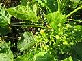 Jatropha curcas at thenmala 2014 (2).jpg