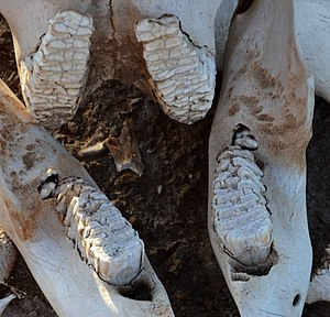 Jaw of a deceased Loxodonta africana juvenile individual found within the Voyager Ziwani Safari Camp, on the edge of the Tsavo West National Park, near Ziwani, Kenya 3 (edited).jpg
