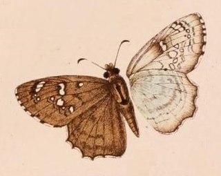 <i>Caprona alida</i> species of insect