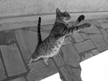 A jumping cat trying to catch some food.