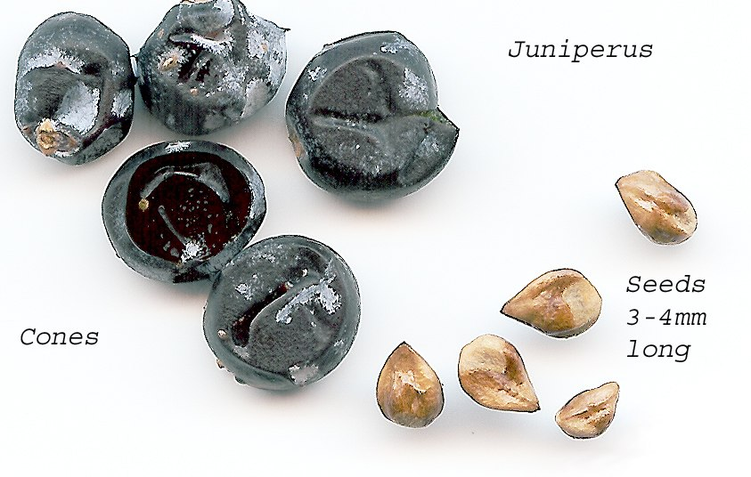 Juniperseeds
