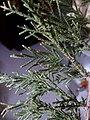 Juniperus chinensis at Akola, India9.jpg