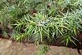 Juniperus oxycedrus kz20 (Morocco).jpg