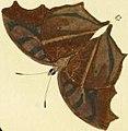 Junonia almana dry season form illustration.v.jpg