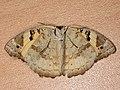Junonia hierta (41121397541).jpg