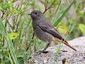 Juvenile Black Redstart (Phoenicurus ochruros) (4).jpg